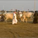 бой быков в ОАЭ