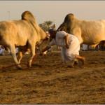 бой быков в ОАЭ начало