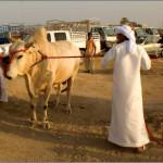 быки для боев в ОАЭ