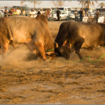 Бои быков в Эмиратах