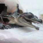 В Дубайском аквариуме родились маленькие крокодильчики